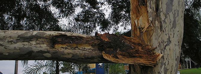 Foto: Demóstenes Ferreira da Silva Filho pau-ferro com lascamento de galho favorecido pela ramificação do tipo