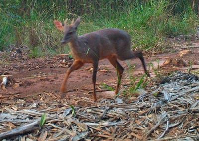 Foto: Acervo LEMaC (Laboratório de Ecologia, Manejo e Conservação de Fauna Silvestre), do Departamento de Ciências Florestais da ESALQ