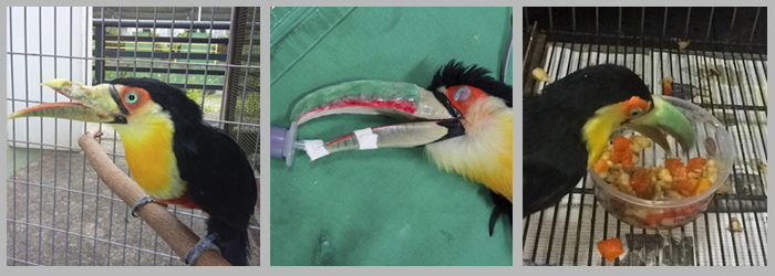 O tucano em três momentos: na chegada, com deformidade no bico superior; após a cirurgia, com a prótese; e se alimentando normalmente Foto: Divulgação/FMVZ